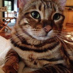 Pippa the Toyger Pet Ferret, Dog Cat, I Miss My Cat, Small Pet Carrier, Animal Fur, Pet Carriers, Guinea Pigs, Pet Care, Cats And Kittens