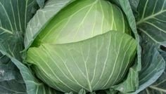 Vitaminbombe Weißkohl #white #cabbage #vegetable #facts #info #diduknow #healthy #food