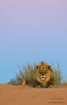 Twilight Lion. Photo by Hendri Venter - earth
