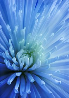 Chrysanthemum Flowers by ADV