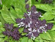 250 SIAM QUEEN THAI BASIL Ocimum Thyrsiflora HERB Flower Seeds -- You can get more details by clicking on the image.