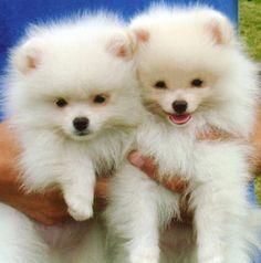 Pomeranian puppies: so cuuuuuuuute!!!
