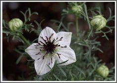 Nigella sativa ~ (Black Cumin Seed oil/Fennel Flower/Roman Coriander) has been used medicinally for years. Nigella Sativa, Cooking Herbs, Seeds Online, Herb Seeds, Black Seed, Organic Herbs, Flowers Perennials, Natural Cures, Gardens