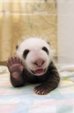 IRRESISTÍVEL PANDA BEBÊ  Quem pode resistir a esse aceno? O carinha nasceu no Giant Panda Conservation and Research Center em Sichuan, China.