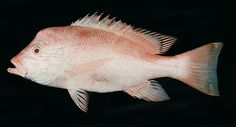 Identificación de Peces  Lutjanus sanguineus [pargo de Humphead]