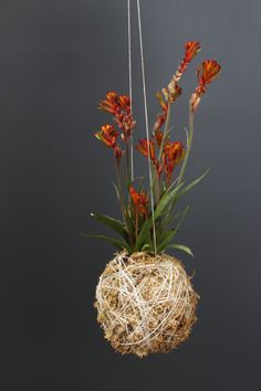 Mister Moss-Kangaroo Paw hanging ball plant. Beautiful way of growing a plant in mid-air!