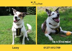 Lacey here from Ilfracombe is a sweet natured girl who is quite shy when she first meets new people. Once she gets to know you she loves a bit of fuss and attention, as well as a tasty treat! As is typical of her breed type she's got lots of energy so would love to find a home where she can go for lots of lovely, long walks! Dogs Trust, Getting To Know You, Meeting New People, Animal Rights, Walks, Love Her, Corgi, Adoption, Tasty