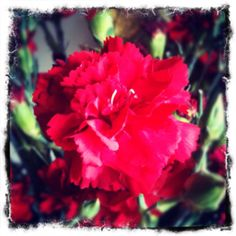 Red Carnation. Weight.