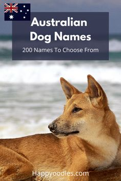 Naming your new puppy can be an exciting time, but picking the right dog name can be hard. An easy way to pick a name for your dog is to pay respect to their ancestry.  Even if you don't have a dog breed that originated in Australia, names from the land down under can be fun and unique. Check out our list of 200 Australian dog names to find the perfect name for your dog. (#Australiandognames, #dognames, #puppynames, #uniquedognames, #Australianinspireddognames) Aussie Puppies, Puppies Tips, Australian Dog Names, The Perfect Dog, Puppy Names, Dog Hacks, New Puppy, Dog Training Tips, Big Dogs