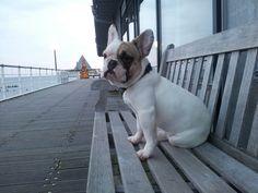 Seebrücke.....Arthur Vom Wietkiekenberg, French Bulldog