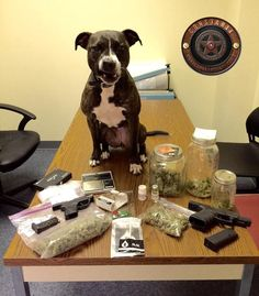 She's been on the job for only a few days now, but Libby has already shown what good can come when even an overlooked shelter dog is given a chance to prove her worth. Libby The Rescued Pit Bull Makes Her First Big Bust As A Proud K9 Officer. Afterward, the proud K9 posed in a picture with what she uncovered, putting on her best snarly face (to show she means business, of course). ~ https://www.thedodo.com/rescued-pit-bull-makes-drug-bust-1141833716.html