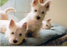 love the tail in the back, these little white dogs stole my heart years ago.