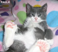 Wow, look at all those extra toe beans! Polydactyly, or extra digits, is a common trait among cats, particularly it seems, among Celtic cats and cats on part of America's Eastern coast and South West Britain.