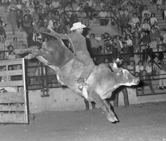 HIGH LONESOME FEELING.  RCA World Champion bull rider Harry Tompkins of Dublin, Texas on #YD (Tommy Steiner Rodeo Co.) - Louisiana State Fair & Rodeo - Shreveport, LA - 1965 - Photo by Ferrell Butler from The Bull Pen Collection on Facebook.