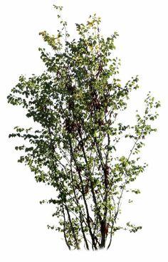 Judas tree. PNG. Transparent backgroud.
