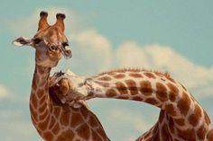 #Giraffe snuggles