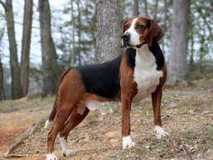 Swedish Hamiltonstövare (scenthound)