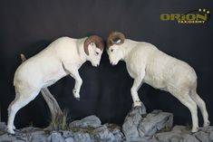Custom Rock base splits apart for easy moving Taxidermy, Sheep, Goats, Base, Rock, Animals, Animales, Animaux, Skirt