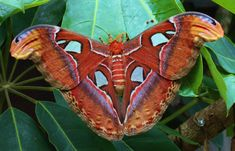 The Atlas moth is the largest moth in the world and the female of this species is around 12 inches wide . The male is smaller and lighter .