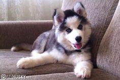 Fluffy little Siberian Husky puppy