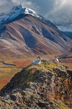Dall Sheep Rams Polychrome Pass Denali National Park Alaska #photos, #bestofpinterest, #greatshots, https://facebook.com/apps/application.php?id=106186096099420