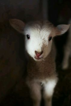 Such a sweet sweet face! I Love Sheep because the Lord is My Shepherd! Cute Baby Animals, Animals And Pets, Funny Animals, Farm Animals, Beautiful Creatures, Animals Beautiful, Wooly Bully, Cute Goats, Baby Lamb
