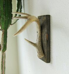 Whitetail antler shed Wall Hook on Barnwood for towel rack,  rustic hat rack, Jewelry tree, outdoorsman gift, hunting cabin, log cabin decor by Hookedtonature on Etsy