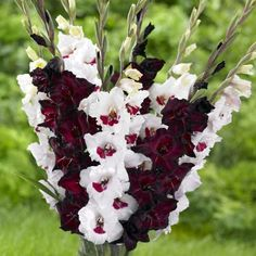 Longfield Gardens offers gladiolus bulbs for spring planting. Gladiolus are excellent cut flowers that bloom in late summer. They come in colors such as red, purple, orange, yellow, pink and white.