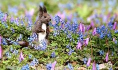 Urausu, Japan A Hokkaido squirrel checks out its surroundings in a patch of wild flowers in full bloom on the grounds of Urausu Jinja shrine. The blossoming of blue Corydalis ambigua flowers and the pink flowers of Erythronium japonicum, a kind of trout lily, signal the arrival of spring on Japan's northernmost main island