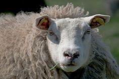 Ewe | Flickr - Photo Sharing!