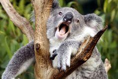 Koalas Have A Unique Organ That Allows Mating Calls Similar To ...