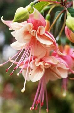 Fuchsia seeds,Fuchsia Flowers ,Lantern flowerseeds,Bonsai Flower Seeds,Plant For Home Garden Exotic Flowers, Amazing Flowers, My Flower, Flower Power, Beautiful Flowers, Beautiful Gorgeous, My Secret Garden, Beautiful Gardens, Garden Plants