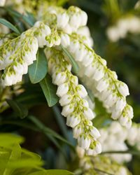 Pieris japonica 'Mountain Snow' Pieris japonica brings a wonderful scent to the air in the spring. Some varieties have salmon pink colored new growth to make them interesting during the summer months. It is an evergreen and does well in the Washington. Garden Shrubs, Garden Soil, Shade Garden, Bridal Wreath Spirea, Pieris Japonica, Landscaping Around Trees, Yard Landscaping, Landscaping Ideas, Flowering Bushes