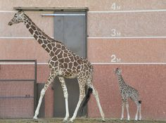 Naissance d'une petite girafe à la Réserve Africaine de Sigean