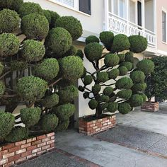 Seuss-Like Topiaries of San Francisco Photographed by Kelsey McClellan (Colossal) Topiary Garden, Bonsai Garden, Garden Trees, Trees To Plant, Big Garden, Garden Art, Garden Design, Landscape Design, Japanese Plants