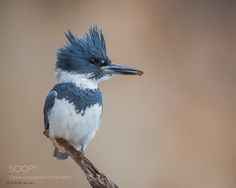 Belted Kingfisher by Dave_v #nature #mothernature #travel #traveling #vacation #visiting #trip #holiday #tourism #tourist #photooftheday #amazing #picoftheday