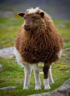 The Faroe(se) sheep is a breed of domestic sheep native to the Faroe Islands. One of the Northern European short-tailed sheep, it is a small, very hardy breed. Staple undercoat 8 cm, outer coat cm, 12 (undercoat) to 80 (outer coat) micron. Farm Animals, Animals And Pets, Cute Animals, Alpacas, Beautiful Creatures, Animals Beautiful, Wooly Bully, Sheep Breeds, Counting Sheep