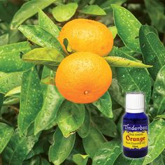 Orange Essential Oil (Citrus sinensis) for aromatherapy, skin care and natural perfumes. Tinderbox: supplying pure essential oils since Orange Essential Oil, Pure Essential Oils, Blue Glass Bottles, Rest And Relaxation, Skin Brightening, Raw Materials, Cleanse, Herbalism, Perfume