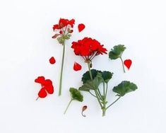 Image result for abstract geranium photos