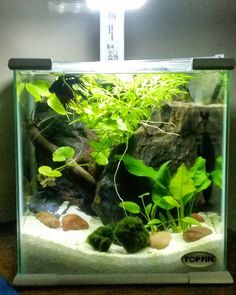 """Bernard's tank. #plantedtank #aquarium #plantedaquarium #beautiful #fish #bettafish #betta #nofilter #2.5gallon #crowntailbetta #snail #pennywart"""