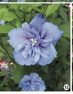 BLUE CHIFFON® Hibiscus | Hibiscus, Shrub and Plants