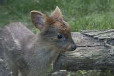 This is the new doe, weighing in at a dainty 1 lb. | The Smallest Deer In The World Is So Cute It Hurts
