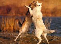 """Résultat de recherche d'images pour """"combat de loup"""""""