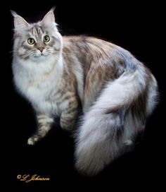 Maine Coon - CH Maine Delite's Gemini of Waggscoons