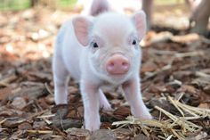 Perfect pink piglet