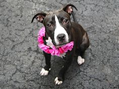 Manhattan center LOLA – A1081120 FEMALE, BLACK / WHITE, AM PIT BULL TER MIX, 4 mos STRAY – STRAY WAIT, NO HOLD Reason STRAY Intake condition UNSPECIFIE Intake Date 07/13/2016, From NY 11434, DueOut Date07/16/2016