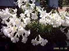 Resultado de imagen para azucenas flores
