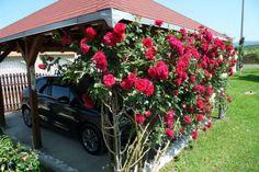 Ruža penjačica,Climber Rose,hlad za otvorenu garažu