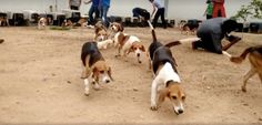 magic world around: 42 Beagles Step Into Freedom for the First Time