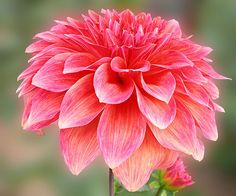 Beautiful Dahlia  -  If ever there was a flower that knew the meaning of variety, it is the Dahlia. While it's colors are limited to the warm ranges of red, orange, yellow, pink and white, it's flowers come in a dizzying array of shapes and sizes.